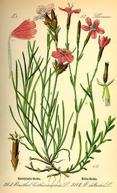 Flora von Deutschland Österreich und der Schweiz (1885) - Dianthus deltoides