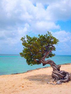 Divi Divi Tree, Palm Beach, Aruba, Caribbean.