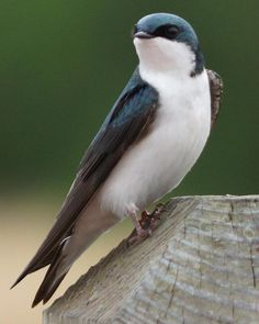 Tree Swallow (photo Gerald Hoekstra)