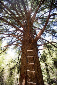 Climb Tree 9 overlooking Monterey Bay, UC Santa Cruz