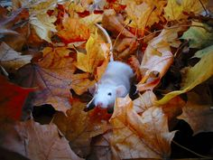 My baby dumbo Eliza playing in the leaves a few weeks ago :)