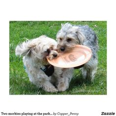 Two morkies playing at the park postcard