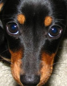 those sweet eyes Weenie Dogs, Dachshund Puppies, Dachshund Love, Cute Puppies, Cute Dogs, Doggies, Mini Pinscher, Miniature Pinscher, Doberman Pinscher