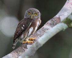 Amazonian Pygmy-Owl Manaus, Amazonas, Brazil 13 March 2011 © Anselmo d'Affonseca