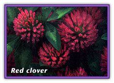 Traditional Use  Red clover is mentioned as a blood purifier, diuretic, general tonic, and folk cancer remedy in Jethro Kloss's Back to Eden. The flower has been used as a folk remedy to relieve spasms associated with asthma and bronchitis and to treat skin sores or ulcerations. It is one of the ingredients of the controversial Hoxsey formula used at alternative cancer clinics in Mexico.