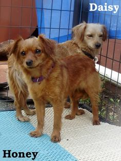 ADOPTED--HONEY is a female Chihuahua mix in need of rescue or adoption from the Pocahontas County Animal Shelter in Marlinton, WV.  More PHOTOS here: https://www.facebook.com/media/set/?set=a.395305590579273.1073741850.257761584333675=3=2  For rescue or adoption info, email: asapwva@gmail.com  Out-of-state adopters welcomed! Transport available!