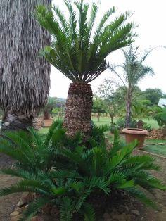 Living Fossil, Cactus Plants, South Africa, Home And Garden, Beautiful, Landscaping, Cacti, Cactus