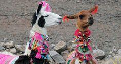 llamas from peru - Google Search