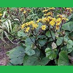 Daugiametės gėlės katalogas - Riešės gėlės