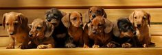Ruger Dachshund puppies. We should have tried to line them up in the same order as the belly up picture!  (l-r, Luc, Jonah, Shelby, Flyer, Flash, Annabeth, Logan and Liam)