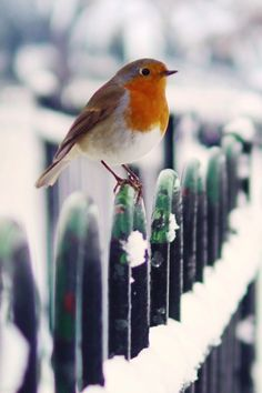 European Robin - Such a striking bird! I wish we ha these in Canada