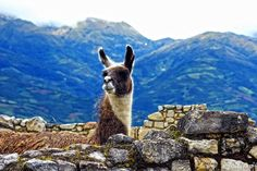 Llama in Luya, Peru