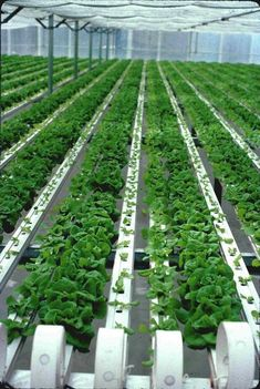 Rows of lettuce plants is part of Hydroponic lettuce - Hydroponic Lettuce, Hydroponic Farming, Hydroponic Growing, Hydroponics System, Growing Plants, Vegetable Farming, Vertical Farming, Urban Farming, Garden Projects