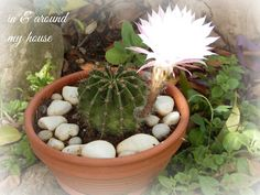 In & around my house My House, Succulents, Garden, Plants, Garten, Lawn And Garden, Succulent Plants, Gardens, Plant