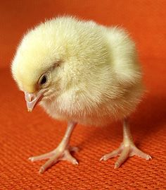 Edge Of The Plank: Cute Animals: Baby Chicks