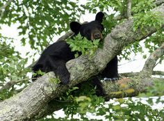 Black Bear Adults and Yearlings - Deb Campbell Photography