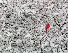 Cardinal and snow...so beautiful