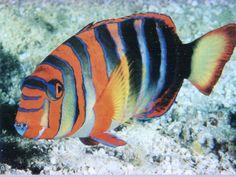 Exotic Fish... Harlequin tusk fish (Australian)