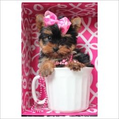 ♥♥♥ Micro Teacup Yorkie's! ♥♥♥ Bring This Perfect Baby Home Today! Call 954-353-7864 www.TeacupPuppies... ♥ ♥ ♥ TeacupPuppiesStore - Teacup Puppies Store Tea Cup