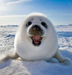 wildlife photographer, keren su, crawled across the ice on his stomach to snap this beaming face - a baby harp seal.