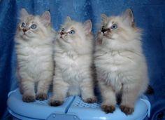 Невская маскарадная кошка (фото): Оригинальная длинношерстная красавица Смотри больше http://kot-pes.com/nevskaya-maskaradnaya-foto/