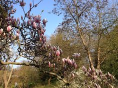 Magnolias in Botanischer garten, Berlin