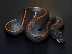 Suma Ball Python