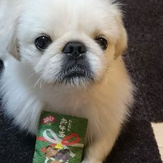10 JUN  #ももたのママにお年玉もらったよ! #お年玉 #おやつ #たろ #ペキニーズ #愛犬 #今日のワンコ #鼻ぺチャ #白ペキ #親バカ #Otoshidama #New Year's present #taro #dog #adorable #tokyo #Pekingese  #doglove #pet #animals #cute #instadog