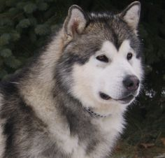 Grey Alaskan Malamute dog photo and wallpaper. Beautiful Grey ...