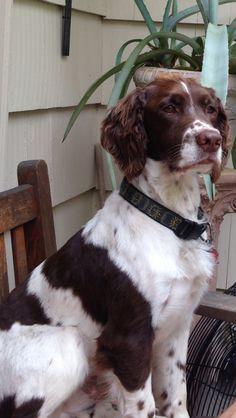Cisco. English Springer Spaniel Puppy Dog Puppies Hound Dogs