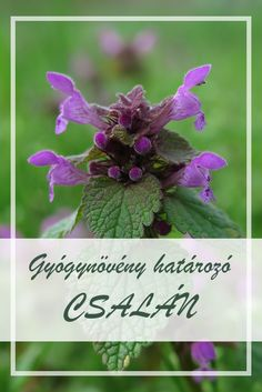 If you enjoy foraging, then purple dead nettle (Lamium purpureum) is a wonderful plant to become acquainted with through these two simple recipes. Herbal Remedies, Natural Remedies, Nettle Recipes, Health 2020, Usda Food, Annual Flowers, Herbal Extracts, Medicinal Plants, Spring Green