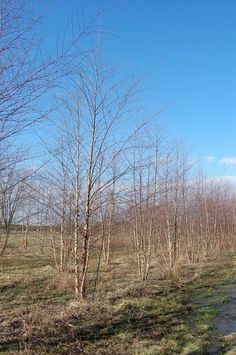 Betula nigra Heritage - Clump:  Deer Resistant River Birch have vigorous colorful peeling bark, and glossy foliage. A broadly pyramidal deciduous tree with foliage turning yellow in the fall. River Birch are borer and leaf miner resistant.