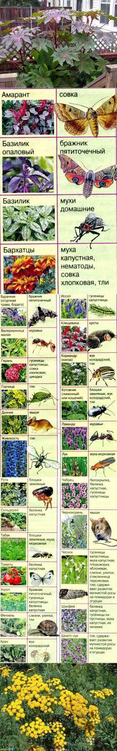 Какие растения отпугивают комаров, мух и других вредителей   Дача - впрок