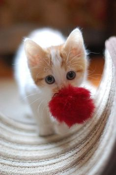 That toy is almost as big as you sweet kitten!