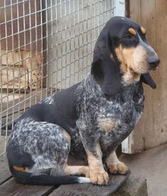 Basset Bleu de Gascogne. @Brandy Martin Frederick scruffamuffin could seriously be a wire haired one of these!