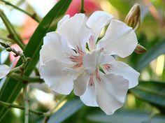 OLEANDER HAUS Nerium Oleander Gotsis Urania Nerium, Four Seasons, Pretty Flowers, Rose, Plants, Create, Mediterranean Plants, House, Beautiful Flowers