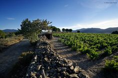 DO Empordà - Vinyes Castell de Perelada - Costa Brava, Catalonia Costa, Vineyard, Outdoor, Self, Growing Up, Outdoors, Vine Yard, Vineyard Vines, Outdoor Games