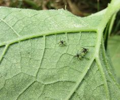 How to Find Squash Bug Eggs on Your Vegetable Plants