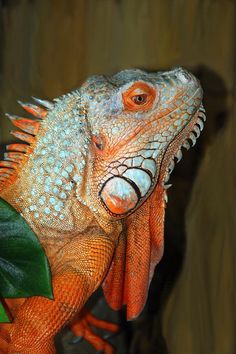 Male Orange Iguana about 4 feet long with one nasty personality...by Patrick Witz