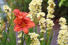 Daylily Flower