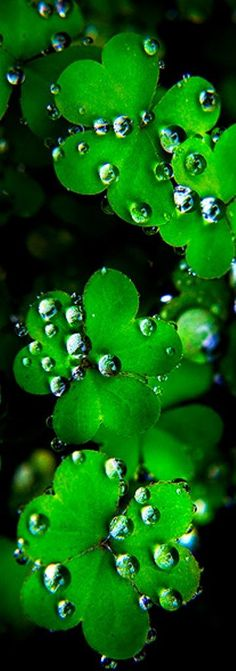 Its really spectacular how water droplets gather and drip around these clover shaped leaves .
