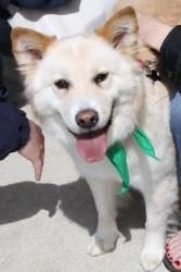 Snow is an adoptable Samoyed Dog in Washington, DC. SNOW NEEDS A FOREVER HOME!!!! If you are viewing Snow's bio on petfinder, please click below for more information! Name: Snow    Breed: Samoyed Mix ...