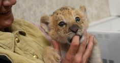 Filhote leligre (híbrido de leão e tigre) nascido no zoológico de Novosibirsk, na Sibéria, morde dedo de veterinária
