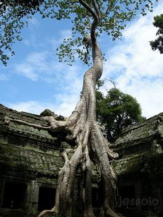 Ta Prohm, Siem Reap Province, KH by jessoloof: Roots of Thikpok, 'Tetrameles nudiflora' #Ta_Prohm #Trees #jessoloof #Cambodia #Thikpok