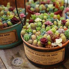 Cute Pot of Sedums