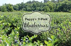 Pappy's U-Pick Blueberries – Olives & Okra Blueberry Farm, Blueberry Bushes, Okra, Blueberries, Olives, Berry, Gumbo, Blueberry