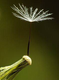 ˚ Dandelion Wish, Dandelions, Being Ugly, Truths, Flowers, Florals, Flower, Dandelion, Bloemen