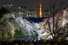 People take pictures of illuminated cherry trees in full blossom at the Chidorigafuchi moat in Tokyo in March. | REUTERS