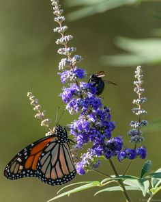 Monarch Butterfly and Bee sharing a flower.  Chaste tree, AKA Texasperated Lilac.
