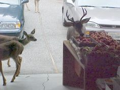 Deer stealing apples from our garage